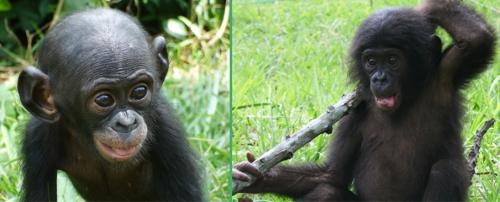 petits bonobo (2).jpg