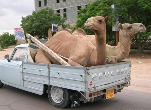 chameaux peugeot.jpg