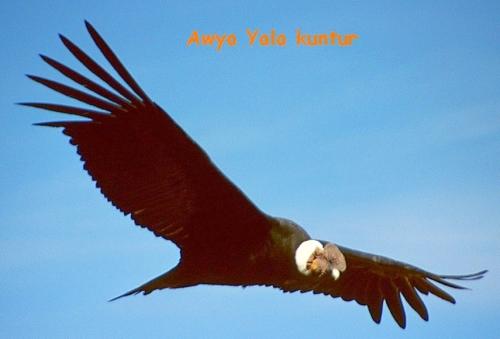 1280px-Colca-condor- Awya Yala.jpg