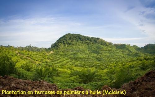 culture palmier.jpg